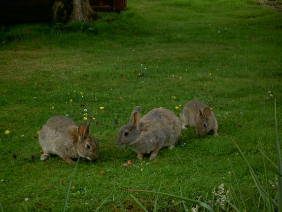 Rabbits in garden. Loch Aluinn Self Catering and Bed and Breakfast Accommodation, Sconser, on the Isle of Skye